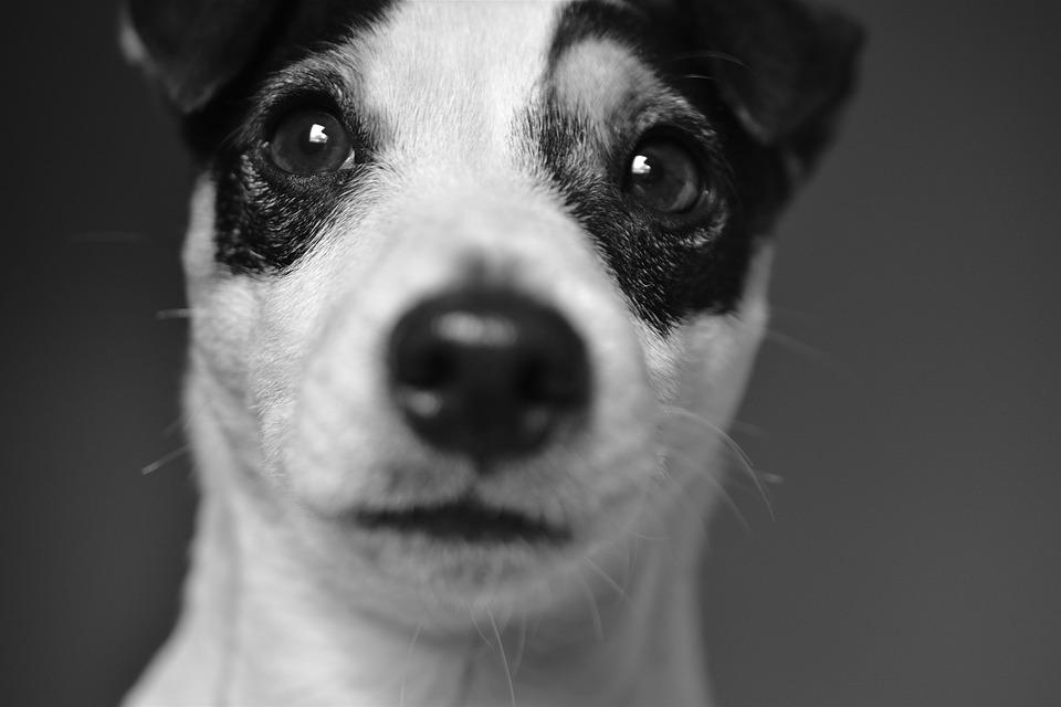 Det vidste du ikke om en Jack Russell Terrier